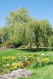 What Are Weeping Trees Common And Shrubs For The Landscape