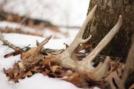When Do Whitetails Shed Their Antlers by 10 Reasons Why You Aren U0027t Finding More Shed Antlers Deer Hunting