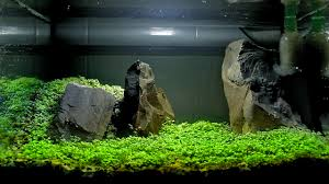CARPET SEEDS AQUASCAPE SETUP - YouTube How To Set Up An African Cichlid Tank Step By Guide Youtube Aquascaping The Art Of The Planted Aquarium 2013 Nano Pt1 Best 25 Ideas On Pinterest Httpwwwrebellcomimagesaquascaping 430 Best Freshwater Aqua Scape Images Aquascape Equipment Setup Ideas Cool Up 17 About Fish Process 4ft Cave Ridgeline Aquascape A Planted Tank Hidden Forest New Directly After Setting When Dreams Come True