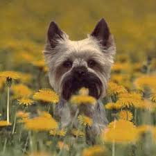 Quiet Small Non Shedding Dog Breeds by Small Dog Breeds That Aren U0027t Yappy Petcarerx