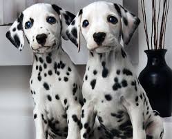 Do Black And Tan Coonhounds Shed by Dalmatian All Big Dog Breeds