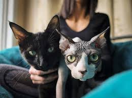 hairless cat price shocked after realizing 700 hairless sphynx cat is