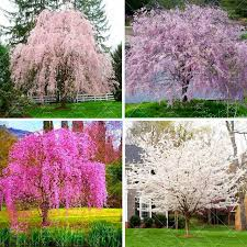 10pcs Weeping Sakura Seeds Beautiful Oriental Cherry Blossom Perennial Tree Pot Plant Flower