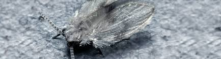 schmetterlingsmücken im haus kammerjäger ratgeber