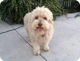 yorba linda ca poodle miniature meet teddy i do not shed