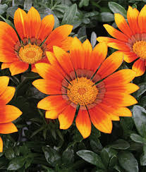 flowers and plants annual flower seeds plants buy grow flowers