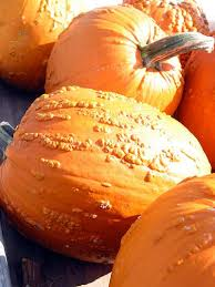 Types Of Pumpkins For Baking by Look Witch Wart Pumpkins Kitchn