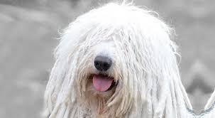 Large Dog Breeds That Dont Shed by Komondor Dog Breed Information American Kennel Club