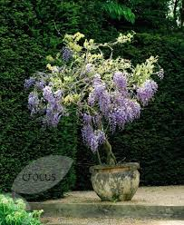 planting wisteria in a pot 21 best wisteria images on wisteria wisteria