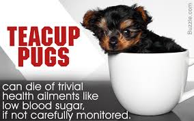 Why Do Puggles Shed So Much by The Real Information About Teacup Pugs You Can U0027t Afford To Miss