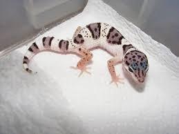Do Leopard Geckos Shed by 19 Best Leopard Geckos Images On Pinterest Leopard Geckos