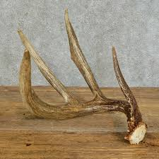 Whitetail Deer Antler Shed For Sale #16161 - The Taxidermy Store 3pcsset Christmas Antlers Decoration For Car Truck Costume Photos Opening Day Of Wyomings Shed Hunting Season Outdoor Life Preserving Lvet Antlers On Deer Outdoors Aberdeennewscom Elk Tracks Galore Records Set At Boy Scout Antler Auction Headed To The Lower 48 Pic Taken In Yukon Canada Youtube Lumiparty Reindeer Suv Van And Amazoncom Mystic Industries Original Vehicle With Jumbo Redbrown Auto