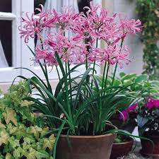 nerine flower bulbs flower bulbs buy from ankur