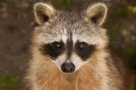 Cooldesign How To Get Rid Of A Raccoon In Your Backyard ... Cinnamon And Pper Keep Raccoons Away Garden Pinterest What Do Raccoons In Winter Terminix How To Keep Out Of Your Dgarden To Get Rid Of House And Pests Steps With Pictures Pics Professional Raccoon Control Service Granite City Archive Stop Do You Get Rid Raccoon Eyes Referencecom Cooldesign A In Backyard Removal Your Attic Crawlspace Raccoons Video Roof Pool Yard Youtube San Antonio Texas