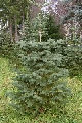 Pfaffs Choose And Cut Tree Page