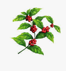 Coffee Tree Beans Picture Material Clipart Branches PNG Image
