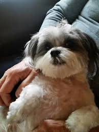 Pin by Jennifer Scott on Shih Tzu s Lil Man Pinterest