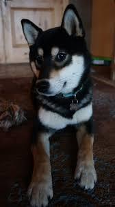 Do Shibas Shed A Lot by 41 Best My Shiba Images On Pinterest Shiba Inu Doggies And Akita
