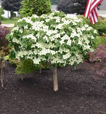 Garden With The Chinese Dogwood Dwarf Tree