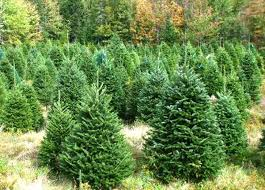 Christmas Tree Types Canada by Fresh Christmas Trees Where To Buy In Dubai Emirates 24 7