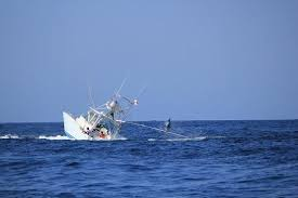 Boat Captains Chair Uk by Marlin Wins The Massive Fish That Sank An Entire Boat And Its