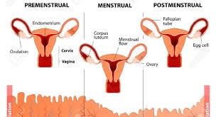 Thick Uterine Lining Shedding During Period by Normal Menstrual Cycles Medmemo