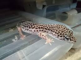 Do Leopard Geckos Shed by Leopard Geckos Reptiles Rehome Buy And Sell In The Uk And