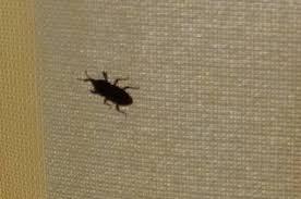 kleine schwarze käfer in der wohnung wo kommen die