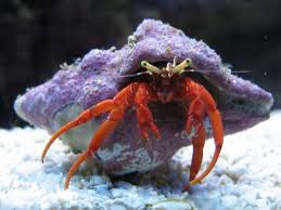 Do Hermit Crabs Shed Their Legs by Red Legged Hermit Crab Sea Life Pinterest Aquariums