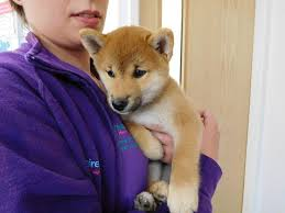 Do Shiba Dogs Shed by Breed Profile Archives Yorkshire Vets Vets In Leeds And Bradford