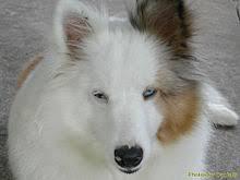 220px white shetland sheepdog jpg