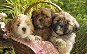 Cute Teddy Bear Puppies