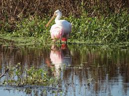 Spirit Halloween Lakeland Fl 2014 by Viewing Nature With Eileen Roseate Spoonbill