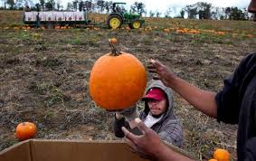 Jacksonville Nc Pumpkin Patch by Bottomley Farms Is Nc U0027s Great Pumpkin Patch News U0026 Observer