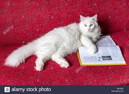 cat sofa white cat on a sofa and school book stock photo royalty free
