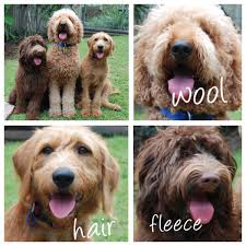 Do F1 Aussiedoodles Shed by Amalie Labradoodles Labradoodle Coat Types Kobe Pinterest
