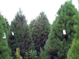 Christmas Trees Types by Selecting The Perfect Christmas Tree Tree Types Msu Extension