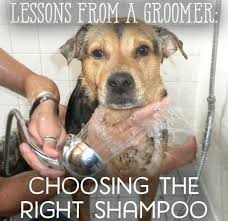 Dogs That Dont Shed Or Stink by Lessons From A Groomer Shampoo For Fleas Dandruff U0026 More