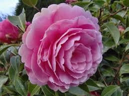 entretien du camelia en pot élia camellia fleur plantation taille entretien bouture
