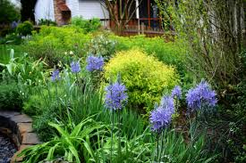 camassia leichtlinii caerulea in bloom with golden spirea