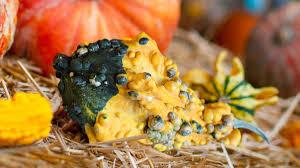 Pumpkin Moon Oak Park Illinois by Report Gross Gourd All Bumpy And The Onion America U0027s