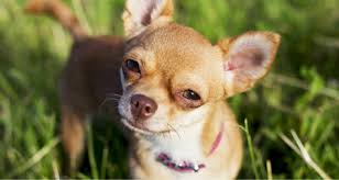 Dogs That Shed Very Little by Dogs That Shed The Least Top 10 Breeds Petcoach