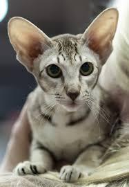 shorthair cat price shorthair cat breed profile metaphorical platypus