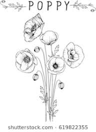 Flowers Drawing Poppy Flower Vector Illustration And Line Art