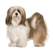 Non Shedding Dog Breeds Small by 14 Quiet Small Non Shedding Dog Breeds Black And White Dog
