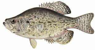 Animal Fish Crappie Clipart