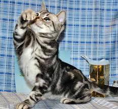 shorthair cat price american shorthair cats cat breed domestic shorthair cat