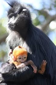 Porcupine Eats Pumpkin by Francois U0027 Langur Leaf Monkey Born At Sydney U0027s Taronga Zoo Daily
