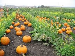 Half Moon Bay Pumpkin Patches 2015 by Seven Awesome Bay Area Pumpkin Patches 7x7 Bay Area