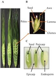 The Plant Genome - Original Research Comparative Transcriptional ... Flickr Photos Tagged Heltotrichon Picssr Protect Your Pet Against Cheat Grass And Foxtail Research Spotlight Using Phenology To Help In The Fight Laba1 A Domescation Gene Associated With Long Barbed Awns Interesting Stipapulchra Deadly When Dry 10 Things Know About Plant Dev Agrilife Triticale Offers Grazing Benefits Options Isolated Ear Of Wheat With Stock Photo Image 36250058 Vascular Plants Of Gila Wilderness Bromus Carinatus Dogs Risks Symptoms Treatment Petmd Fileoplismenus Undulatifolius Awnsjpg Wikimedia Commons Diversity Free Fulltext Barley Developmental Mutants The